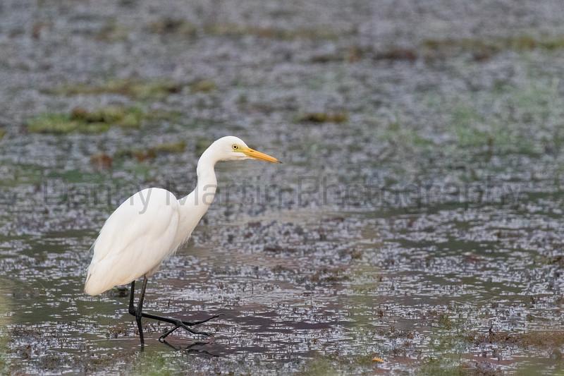 Intermediate Egret<br /> Kerala, India
