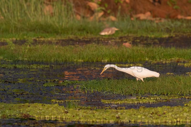 Great Egret<br /> Kerala, India