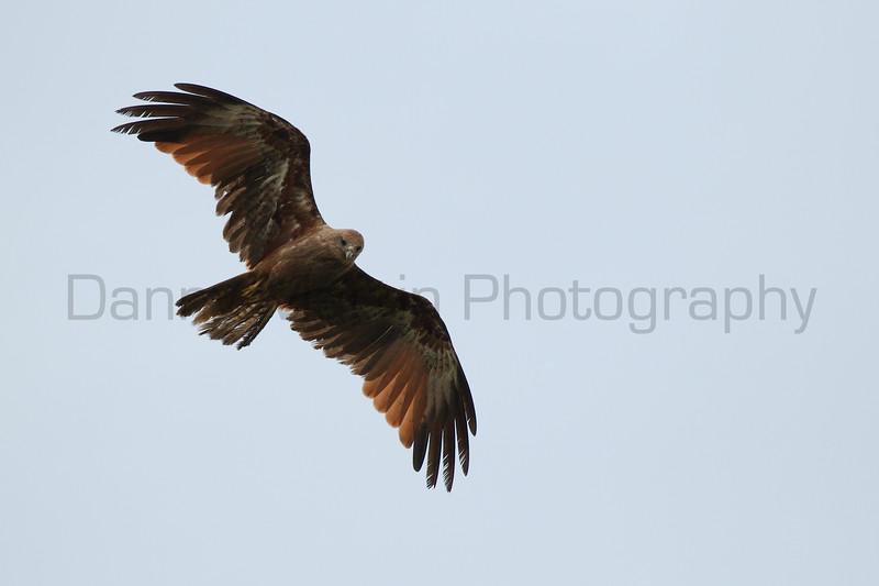 Brahminy Kite (subadult)<br /> Kerala, India