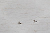 Indian Spot-billed Ducks<br /> Karnataka, India