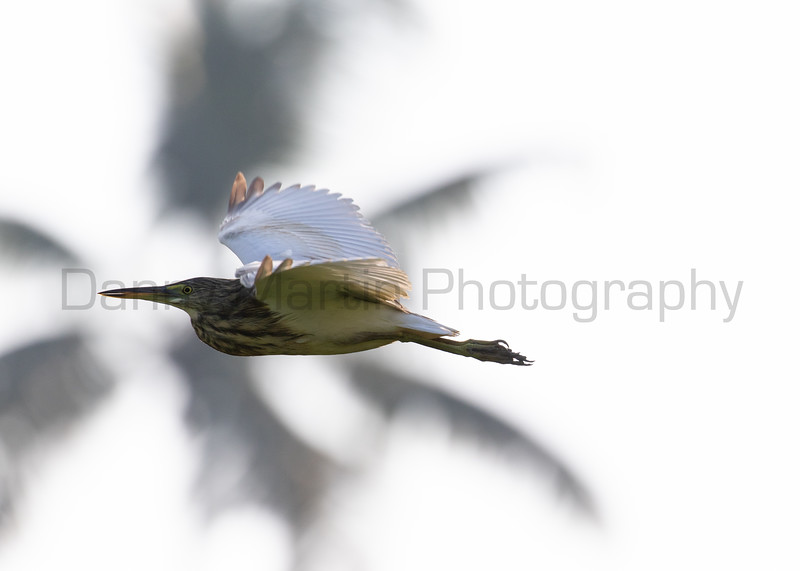 Indian Pond Heron<br /> Kerala, India
