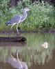 Gray Heron on the Kabini River<br /> Karnataka, India
