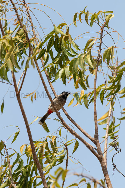 Red-vented Bulbul<br /> Karnataka, India