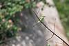 Green Bee-eater<br /> Karnataka, India