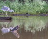 Gray Heron fishing on the Kabini River<br /> Karnataka, India