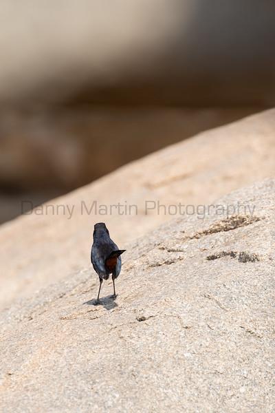 Indian Robin (male)<br /> Karnataka, India