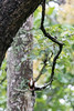 White-throated Kingfisher<br /> Karnataka, India