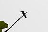 Loten's Sunbird (male) calling<br /> Kerala, India