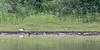 Black-headed Ibis<br /> Kabini River, Karnataka, India
