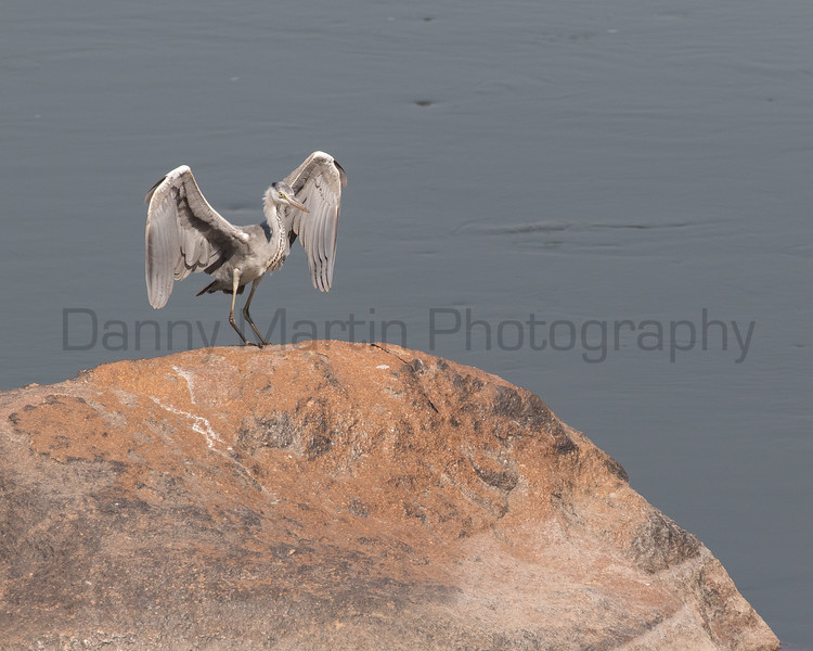 Gray Heron<br /> Karnataka, India