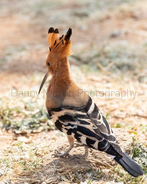 Eurasian Hoopoe<br /> Karnataka, India