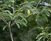 Plum-headed Parakeet<br /> Karnataka, India