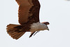 Brahminy Kite<br /> Kerala, India