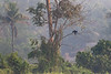 Little Cormorant basking<br /> Kerala, India