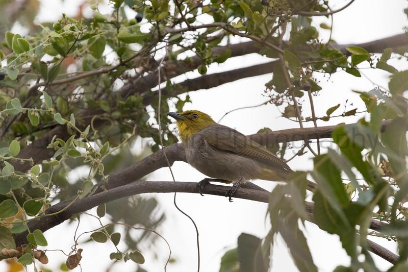 Yellow-throated Bulbul<br /> Karnataka, India