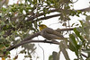 Yellow-throated Bulbul<br /> Karnataka, India
