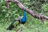 Indian Peafowl<br /> Karnataka, India