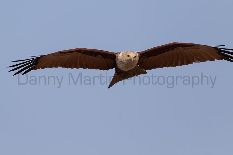 Brahminy Kite<br /> Kerala, India