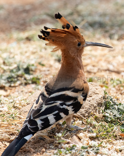 Eurasian Hoopoe<br /> Karnataka, India