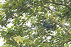 Imperial Green Pigeon<br /> Karnataka, India