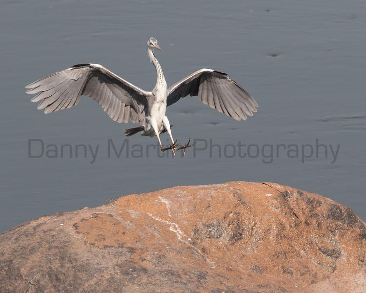 Gray Heron<br /> Karnataka, India