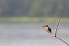 Common Kingfisher with fish prey<br /> Karnataka, India