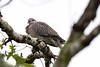 Spotted Dove<br /> Karnataka, India