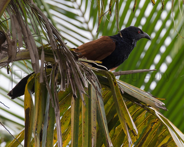 Greater (Southern) Coucal<br /> Kerala, India
