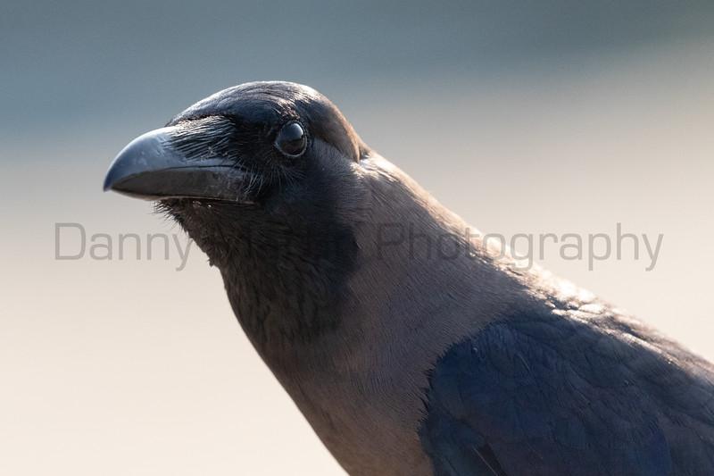 House Crow<br /> Kerala, India