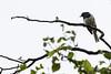 Oriental Magpie-Robin<br /> Tamil Nadu, India