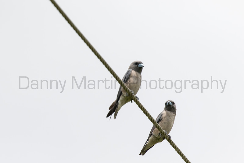 Ashy Woodswallow<br /> Kerala, India