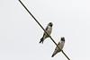 Ashy Woodswallow<br /> Kerala, India