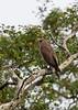 Crested Serpent-Eagle<br /> Karnataka, India