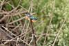Common Kingfisher<br /> Karnataka, India
