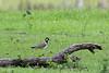 Red-wattled Lapwing<br /> Karnataka, India