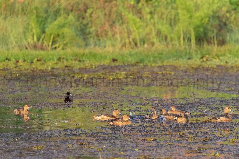 Lesser Whistling Ducks<br /> Kerala, India