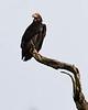 Red-headed Vulture<br /> Karnataka, India