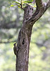 Streak-throated Woodpecker<br /> Karnataka, India