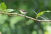 Loten's Sunbird (female)<br /> Kerala, India