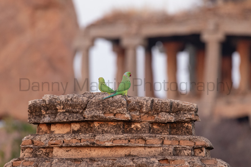 Rose-ringed Parakeets<br /> Karnataka, India