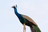 Indian Peafowl (male)<br /> Telangana, India