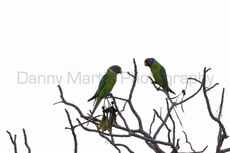 Plum-headed Parakeets<br /> Karnataka, India