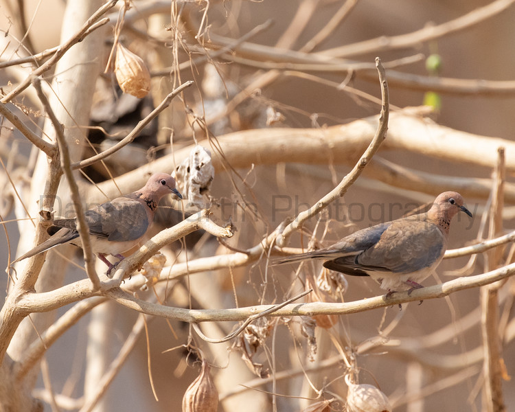Laughing Doves<br /> Karnataka, India