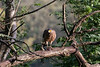 Crested Serpent-Eagle with toad prey<br /> Karnataka, India