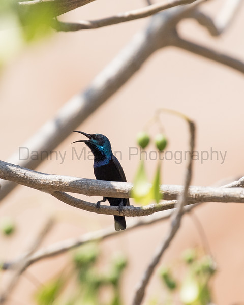 Purple Sunbird (male, calling)<br /> Karnataka, India