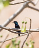 Purple Sunbird (male, calling)<br /> Karnataka, India