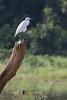 Great Egret on the Kabini River<br /> Karnataka, India