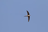 Asian Palm-swift<br /> Karnataka, India
