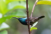Loten's Sunbird (male)<br /> Kerala, India