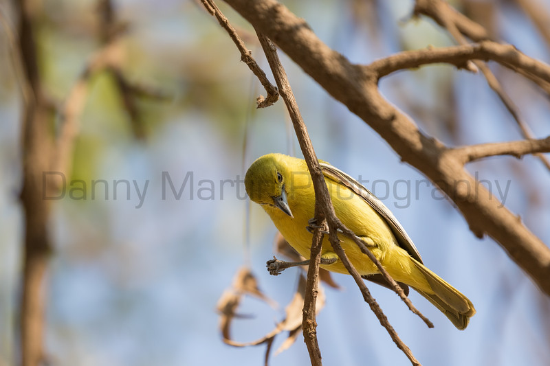 Common Iora<br /> Karnataka, India